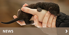Baby mink lying in a hand